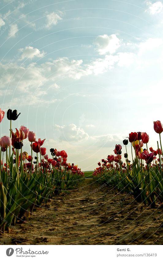 ALLeinGang Tulpe Blume mehrfarbig mehrere Schleuse himmelblau himmlisch Ferne Feld grün rot rosa Wolken schlechtes Wetter Einsamkeit Am Rand Saum begrenzen