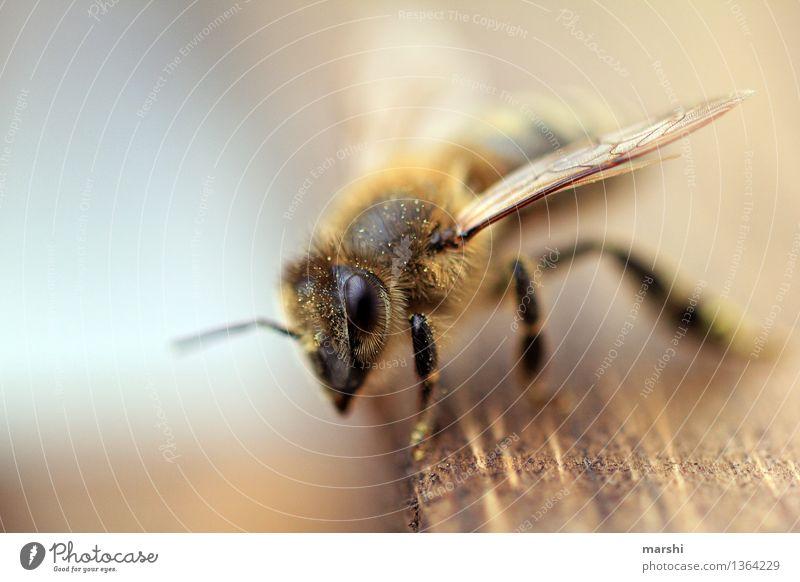 Bienchen Natur Tier Garten Stimmung Wildtier Flügel Biene Nutztier Imker Honigbiene Artenschutz