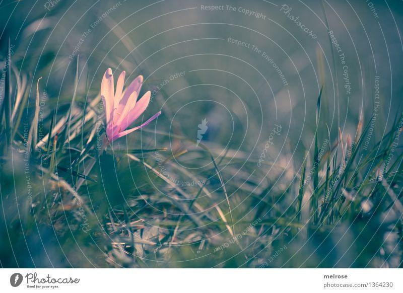 Sonnenbad elegant Stil Natur Pflanze Erde Herbst Schönes Wetter Blume Moos Blüte Wildpflanze Herbstzeitlose Knollengewächse Pflanzenteile Gras Park Wiese