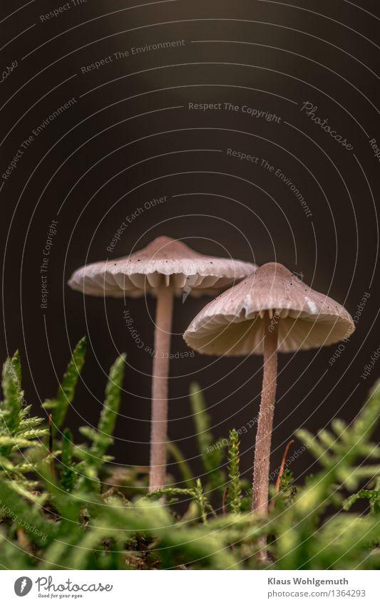 Abschied von der Pilzsaison Natur Pflanze grün schön Einsamkeit Wald schwarz Umwelt Herbst grau braun stehen Moos Pilzhut Lamelle