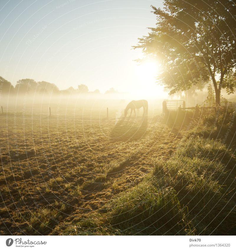 Bathing in Sunlight Landschaft Wolkenloser Himmel Sonne Sonnenlicht Herbst Schönes Wetter Nebel Baum Gras Sträucher Wiese Feld Weide Pferd 1 Tier Fressen