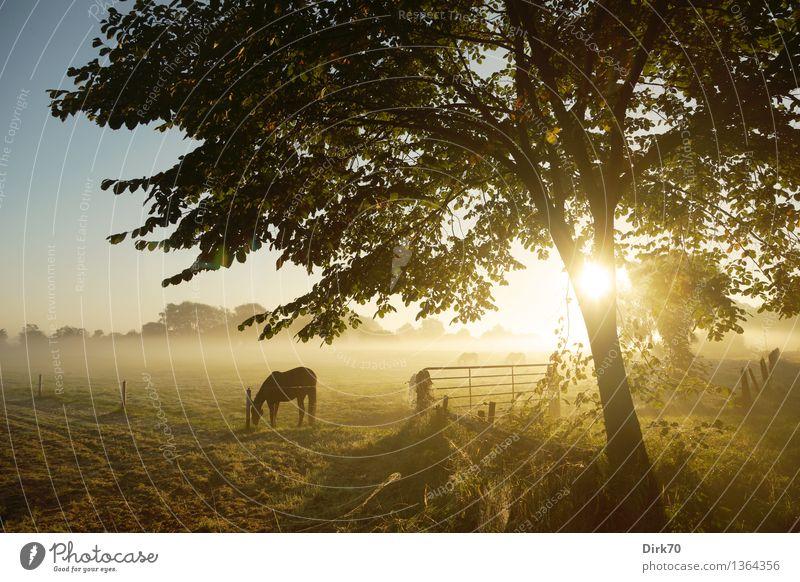 Morgendliche Weide Natur Sonne Baum Landschaft ruhig Tier Wärme Herbst Wiese Gras Feld Nebel Beginn Lebensfreude Schönes Wetter Freundlichkeit