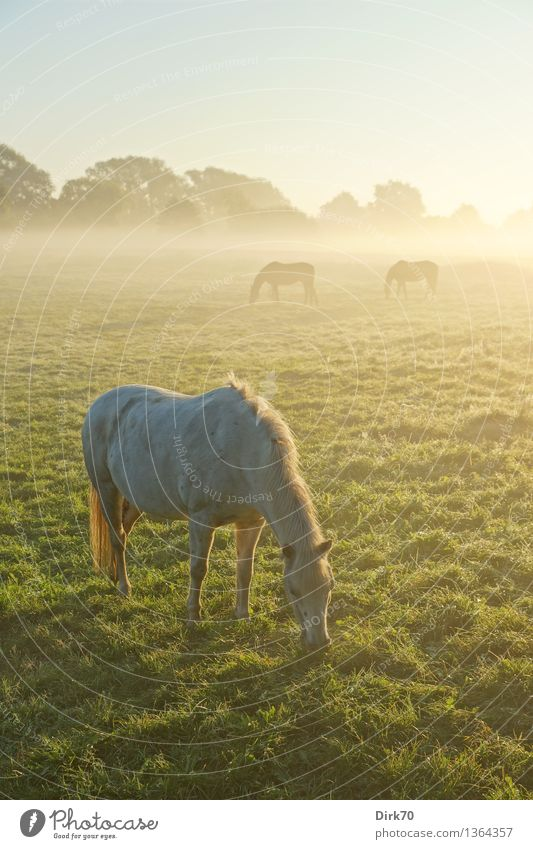 Schimmel am Morgen Reiten Landwirtschaft Forstwirtschaft Natur Wolkenloser Himmel Sonnenlicht Sommer Herbst Schönes Wetter Nebel Baum Gras Wiese Weide Bremen