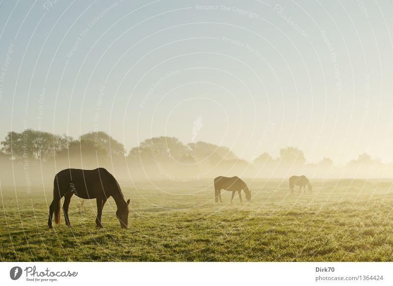 All die schönen Pferde Reiten Landwirtschaft Forstwirtschaft Natur Landschaft Wolkenloser Himmel Herbst Schönes Wetter Nebel Baum Gras Sträucher Wiese Feld