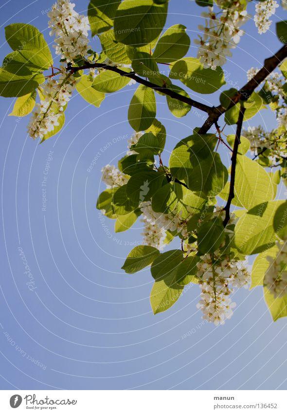lichtdurchlässig Frühling Baum Blüte Blätterdach Gegenlicht himmelblau grün gelb weiß Physik Luft Brise luftig Park hell Schatten Baumblüte Himmel Farbe Zweig
