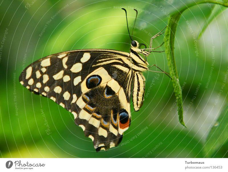 Auch mit geschlossenen Flügeln bin ich schön! ;-) Schmetterling Schmetterlingshaus Insekt Citrusschwalbenschwanz Alt-Schwerin Nahaufnahme