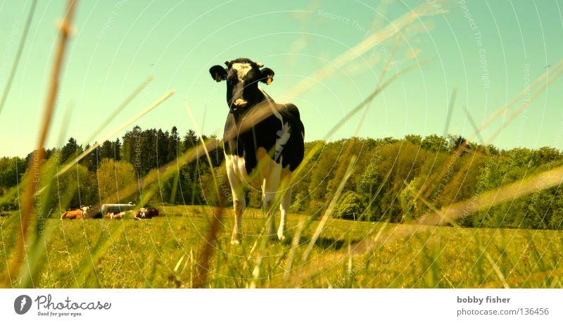 i am chicken Kuh Haustier Nutztier Steak Vogelsberg grün Sommer Frühling Jahreszeiten Natur Perspektive Farbe