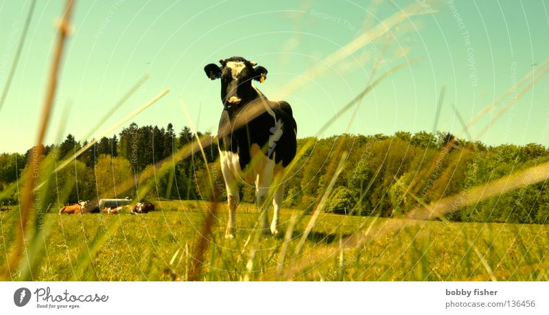 i am chicken Natur grün Sommer Farbe Frühling Perspektive Kuh Jahreszeiten Haustier Nutztier Rindfleisch Steak Vogelsberg