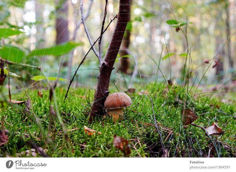 kuscheln Umwelt Natur Landschaft Pflanze Herbst Schönes Wetter Baum Gras Moos Wald natürlich braun grün Pilz Pilzhut Farbfoto mehrfarbig Außenaufnahme