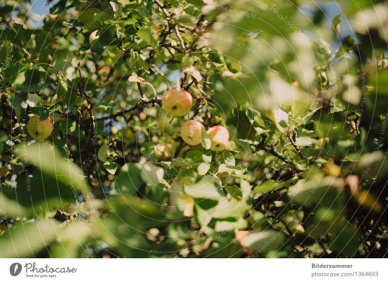 Äppels Frucht Apfel Ernährung Natur Sommer Herbst Schönes Wetter Baum Blatt Garten Wachstum Apfelbaum Apfelernte Most Apfelsaft Erntezeit Farbfoto Außenaufnahme
