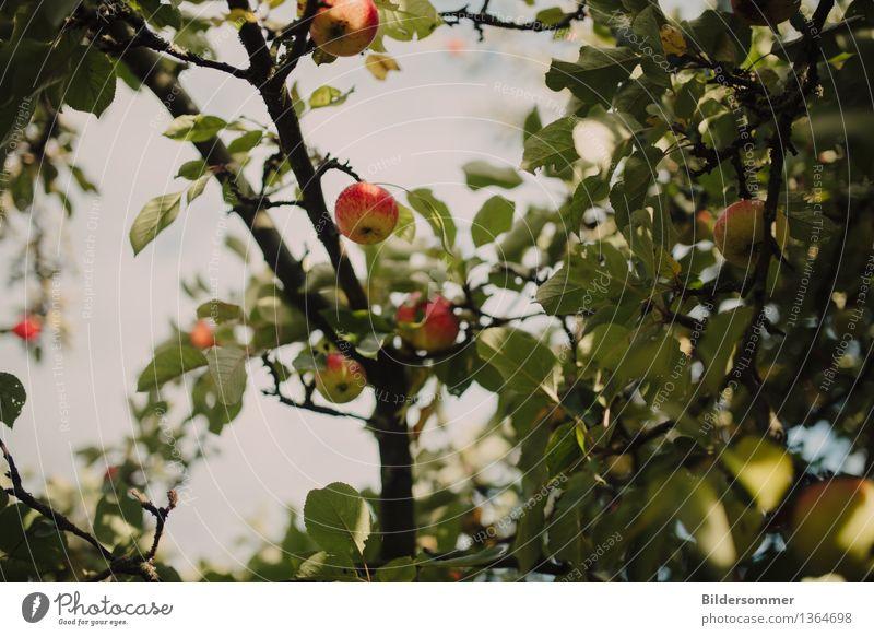 . Lebensmittel Frucht Apfel Ernährung Bioprodukte Natur Sommer Herbst Baum Wachstum Erntehelfer Apfelbaum Apfelernte Herbstbeginn Blatt saftig lecker biologisch