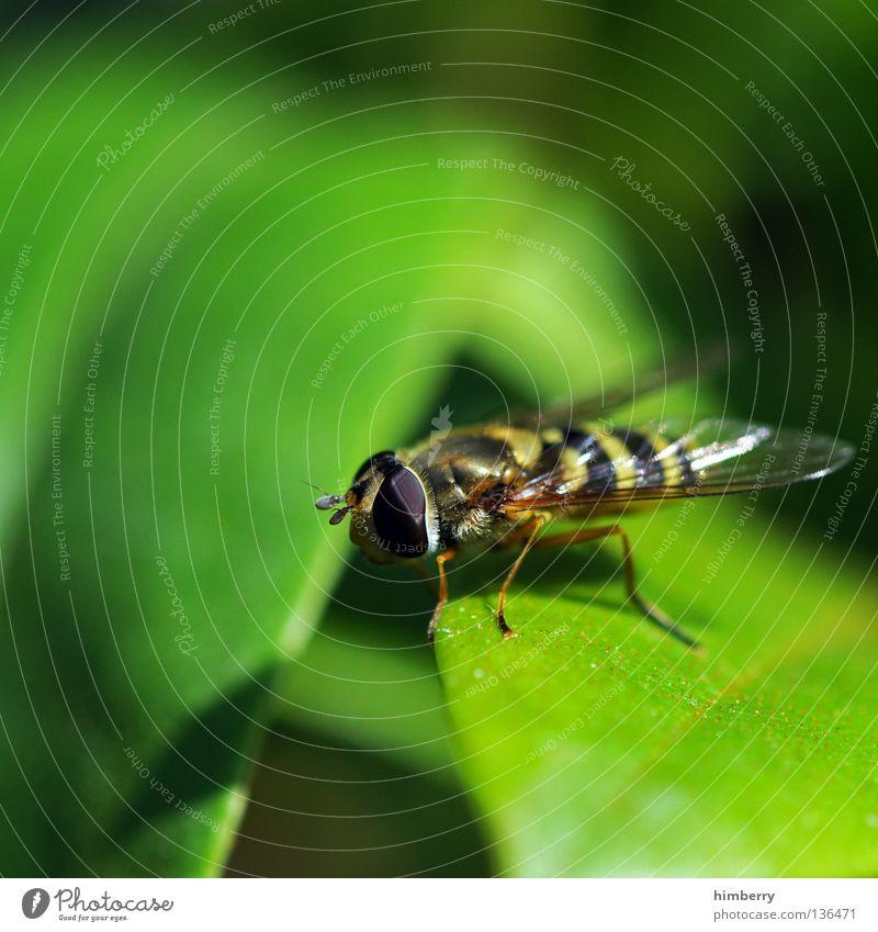 standby Wespen Insekt Lebewesen Blatt Schwebfliege Park Schweben Zoo Makroaufnahme Nahaufnahme Fliege fliegen Flügel insectum Leben leaf eyes fly flys legs