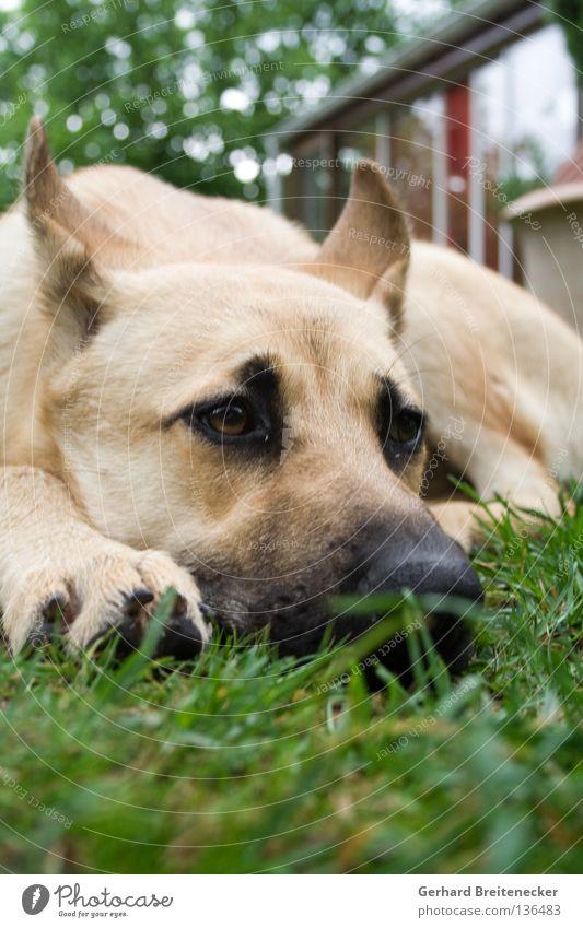 Watchdoggy Style ruhig Wiese Gras Hund Traurigkeit Trauer liegen Müdigkeit Kontrolle Säugetier Dieb Treue Tier Einbruch Halbschlaf bewachen