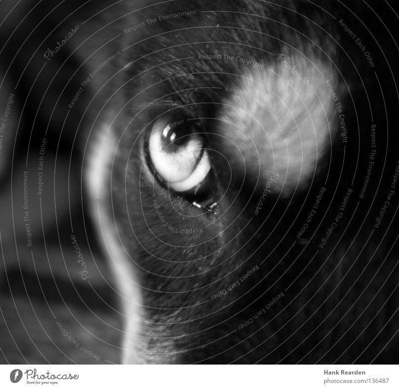 Das fliegende Wurstbrot Hund Tier Auge beobachten Fell Wachsamkeit Gesichtsausdruck Säugetier Anschnitt Pupille Schlittenhund Husky Gesichtsausschnitt