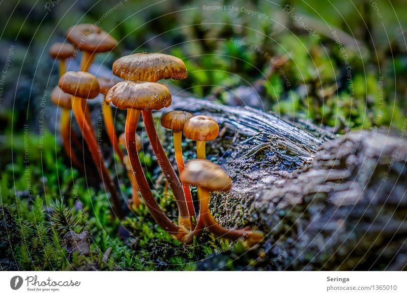 Zusammenhalt Umwelt Natur Landschaft Pflanze Tier Erde Moos Garten Park Wiese Feld Wald Blick leuchten Wachstum Pilzgruppe Pilzhut Pilzkopf Pilzsuppe Pilzsucher