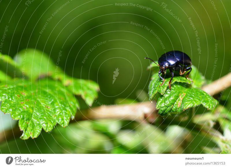 Blattkäfer Chrysolina coerulans Tier Pflanze Sträucher Wildtier Käfer Flügel blattkäfer 1 hocken krabbeln sitzen akrobatisch Gleichgewicht chrysolina coerulans