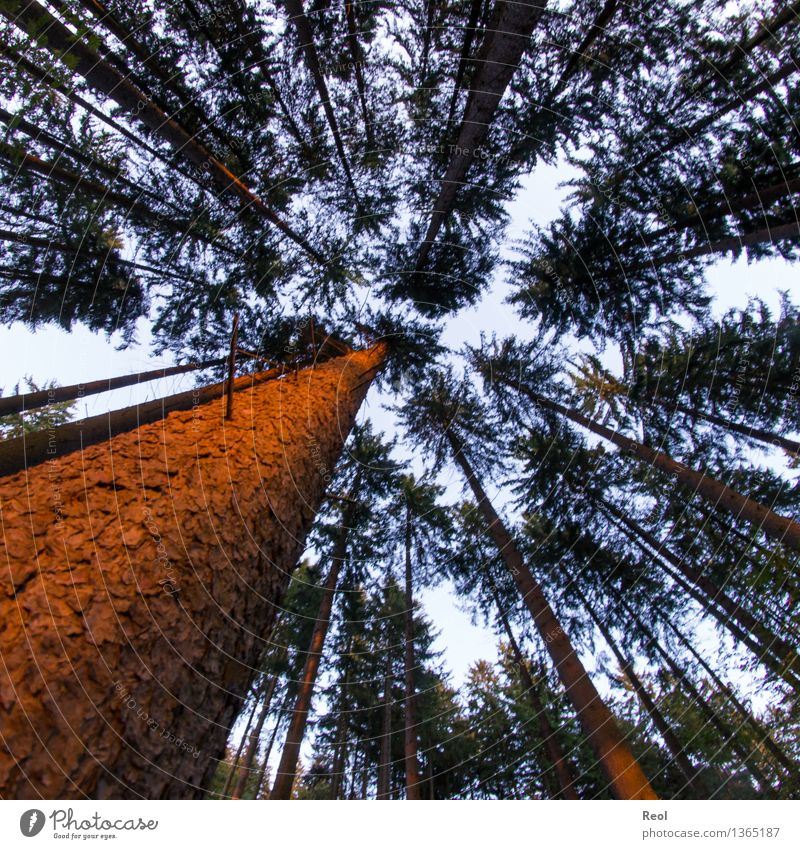 Abendlicher Wald Umwelt Natur Landschaft Pflanze Urelemente Erde Himmel Sonne Sommer Schönes Wetter Baum Wildpflanze Baumstamm Baumrinde Nadelwald orange