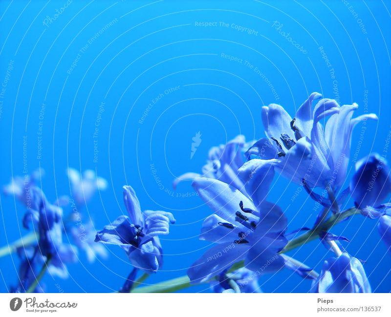Maiblau (3) Farbfoto Nahaufnahme Detailaufnahme Makroaufnahme Textfreiraum oben Tag Freude ruhig Pflanze Himmel Frühling Blume Blüte Blühend Leben