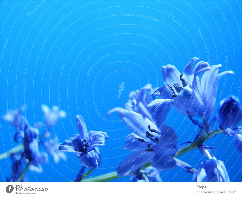 Maiblau (3) Himmel Blume blau Pflanze Freude ruhig Leben Blüte Frühling Vergänglichkeit Blühend Jahreszeiten Mai Blütenblatt Farbenspiel Hyazinthe