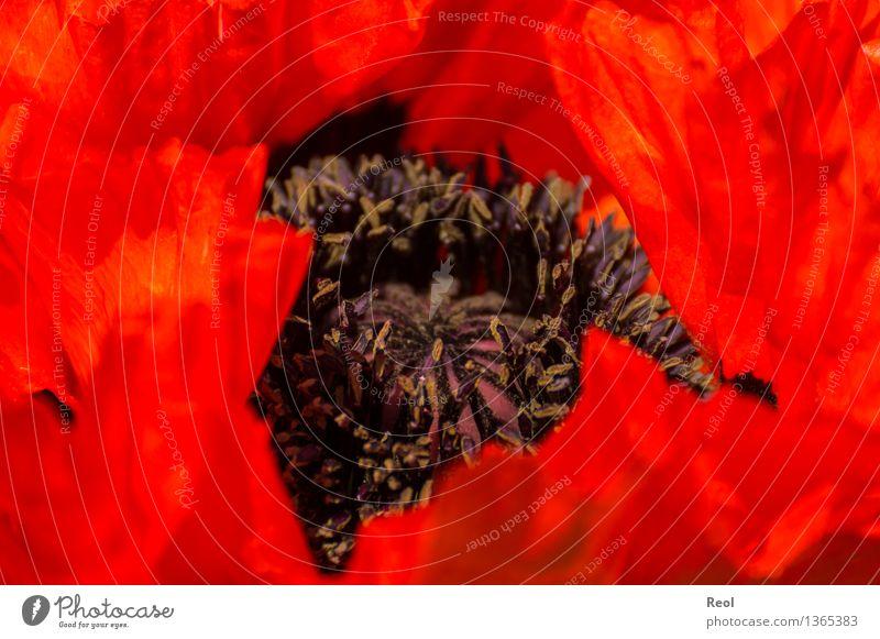 In rot Natur Pflanze schön Sommer Blume Umwelt Blüte Duft exotisch Blütenblatt Stempel Grünpflanze Blütenpflanze intensiv Topfpflanze
