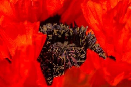 In rot Umwelt Natur Sommer Pflanze Blume Blüte Grünpflanze Topfpflanze exotisch Blütenblatt Stempel schön Blütenpflanze intensiv Nahaufnahme Duft Farbfoto