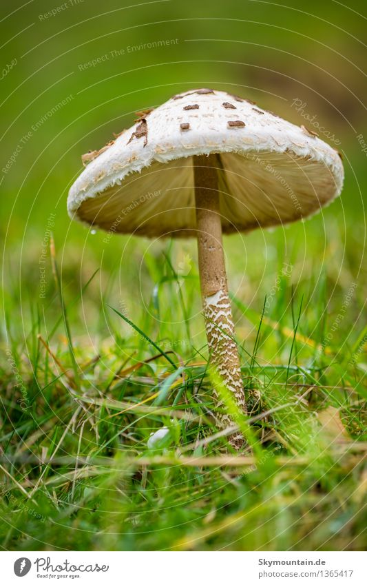 Schirmpilz Umwelt Natur Pflanze Tier Erde Luft Wasser Wassertropfen Sonne Klima Klimawandel Wetter Schönes Wetter schlechtes Wetter Regen Pilz Garten Park Wiese