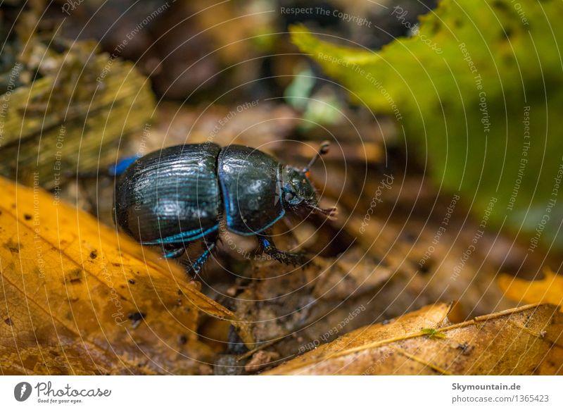 Gemeine Mistkäfer oder Rosskäfer (Geotrupes stercorarius) 2 Natur Pflanze blau grün Sommer Blatt Tier Wald Berge u. Gebirge Umwelt Frühling Herbst Wiese Garten
