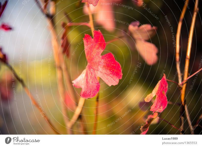 rote Blätter Natur Pflanze grün schön Sommer Sonne Baum Landschaft Blatt Wald Umwelt Blüte Herbst Wiese grau