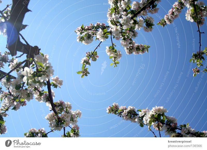 Apfelblühte Himmel Baum Blatt blau weiß Farbfoto Froschperspektive Ast Zweig Geäst Blühend Apfelblüte Apfelbaum Lichtfleck Gegenlicht Blauer Himmel himmelblau