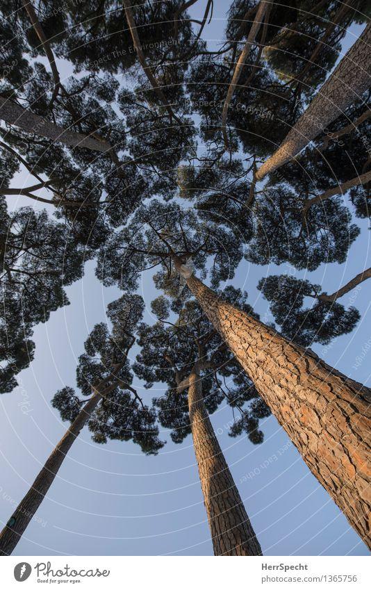 Pinienwald Himmel schön Baum Wald natürlich Park ästhetisch Perspektive hoch Italien Schönes Wetter Baumstamm Wolkenloser Himmel Baumkrone aufwärts Rom