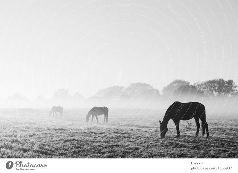 Fade to Grey Reiten Reitsport Natur Landschaft Wolkenloser Himmel Horizont Schönes Wetter Nebel Wiese Weide Tier Haustier Nutztier Pferd Rappe 3 Tiergruppe