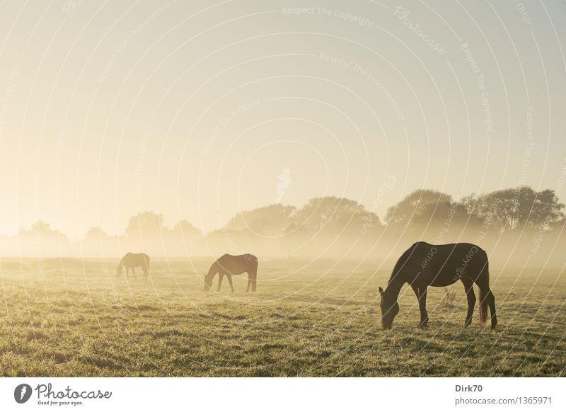 Drei Pferde, gestaffelt und im Dunst verschwindend Gruppe Tiergruppe grasen grasend Silhouette silhouetten Profil Morgen Morgendämmerung morgenlicht Nebel