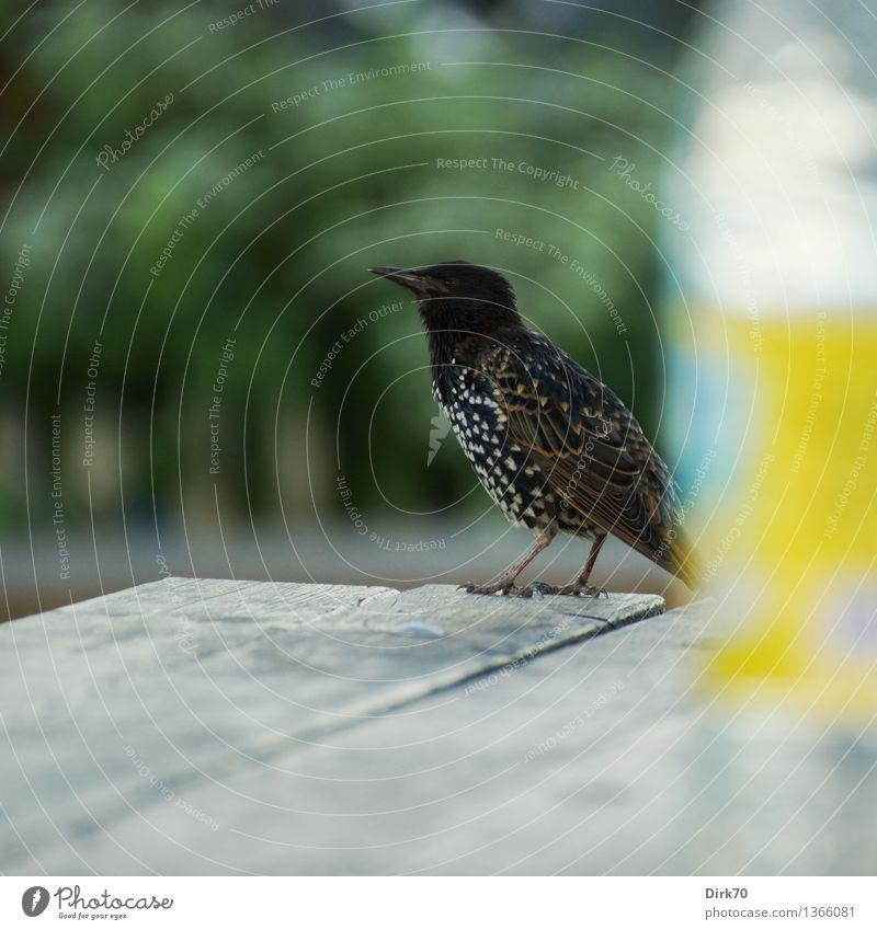 Schluckspecht? Schnapsdrossel? Superstar! Getränk Garten Sommer Sträucher Park New York City Gartentisch Tier Wildtier Vogel Singvögel Star 1 Flasche Holz