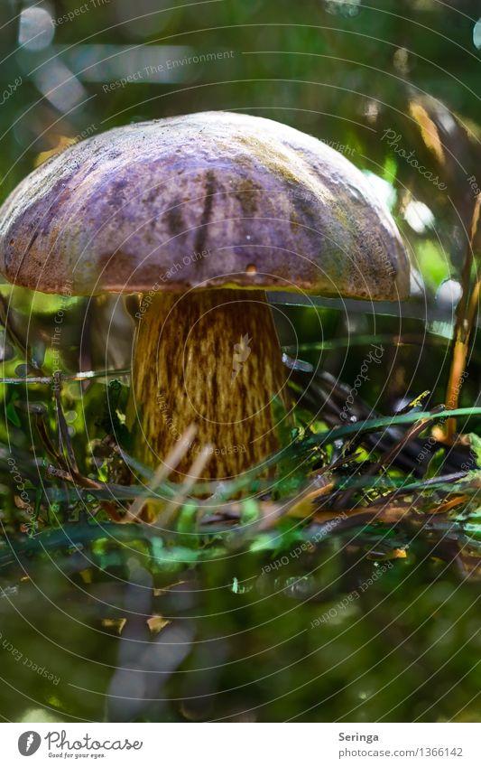 Prachtexemplar Umwelt Natur Landschaft Pflanze Tier Schönes Wetter Gras Moos Park Wiese Feld Wald beobachten Essen genießen Blick Wachstum Pilz Pilzhut