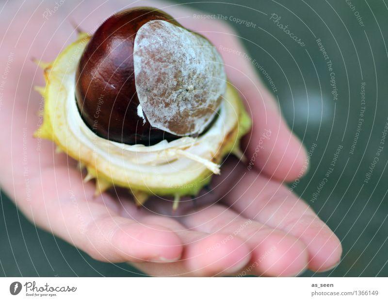Frische Kastanie Kind Natur Pflanze grün Hand Umwelt Leben Herbst natürlich braun glänzend Frucht authentisch Kindheit Spitze Finger