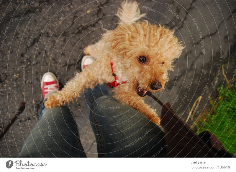 Poodle :) Farbfoto mehrfarbig Außenaufnahme Freude Spielen Jacke Locken Wildtier Hund Schnur springen klein braun Pudel Chucks Schwanz lockig Säugetier