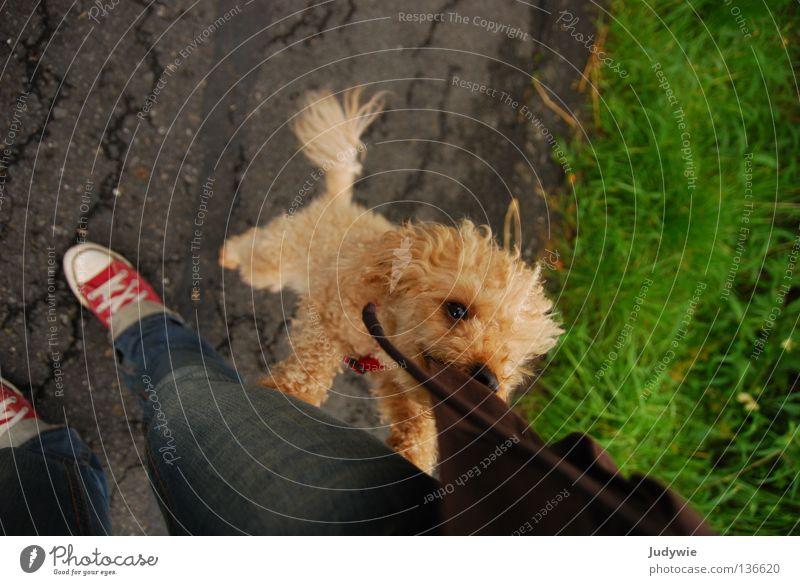Poodle 2 Pudel Hund klein Spielen braun springen Jacke Chucks Schwanz lockig Freude Säugetier zwergpude l verrückt apricot Gebiss Maul Schnur anspringen Locken