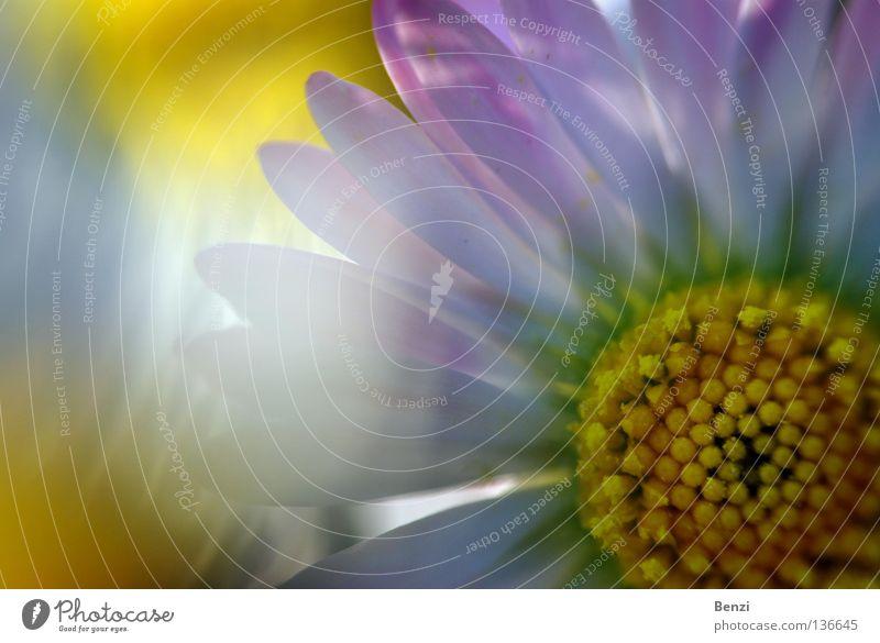 Strahlendes fröhliches Gänseblümchen Freude Leben harmonisch Wohlgefühl Zufriedenheit Sinnesorgane Erholung ruhig Meditation Duft Sommer Sonne Feierabend Natur