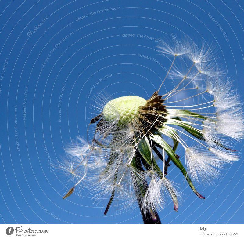 Pusteblume, an der schon viele Samen fehlen, vor blauem Himmel Blume Löwenzahn blasen mehrere säen Sommer Frühling Mai Pflanze Blühend Wiese Wegrand Wachstum