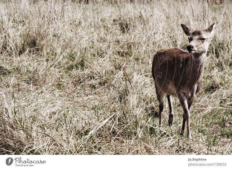 miezekatze V Natur Sommer Tier braun Wildtier wild beobachten trocken Säugetier Vorsicht Hirsche Dürre Schüchternheit Ödland Reh Steppe