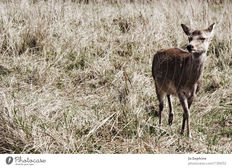 miezekatze V Sommer Natur Tier Wildtier wild Vorsicht Schüchternheit Bambi Hirsche Reh Steppe Ödland Säugetier sika-hirsch zutraulich Dürre trocken