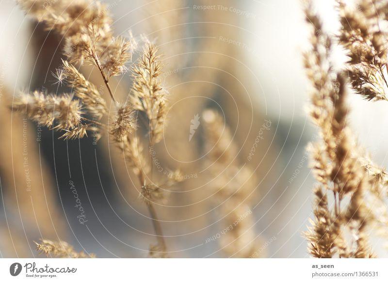 Gräser Natur Pflanze schön Sommer Erholung ruhig Umwelt Herbst Gefühle Gras Bewegung grau Garten braun hell ästhetisch