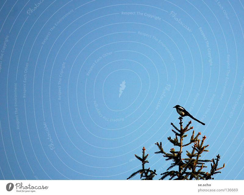 AbendElster Vogel Wächter Baum Dämmerung Baumkrone Himmel blau