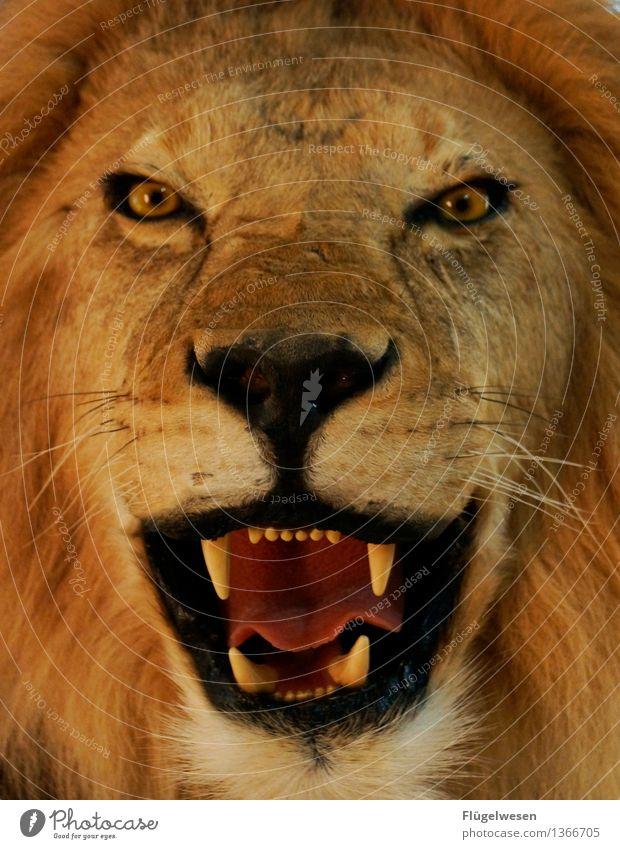 Der Lönig der Köwen Ferien & Urlaub & Reisen Tourismus Abenteuer Ferne Tier Wildtier 1 krabbeln Angst gefährlich Löwe Löwenzahn Löwenmähne Löwenzahnfeld