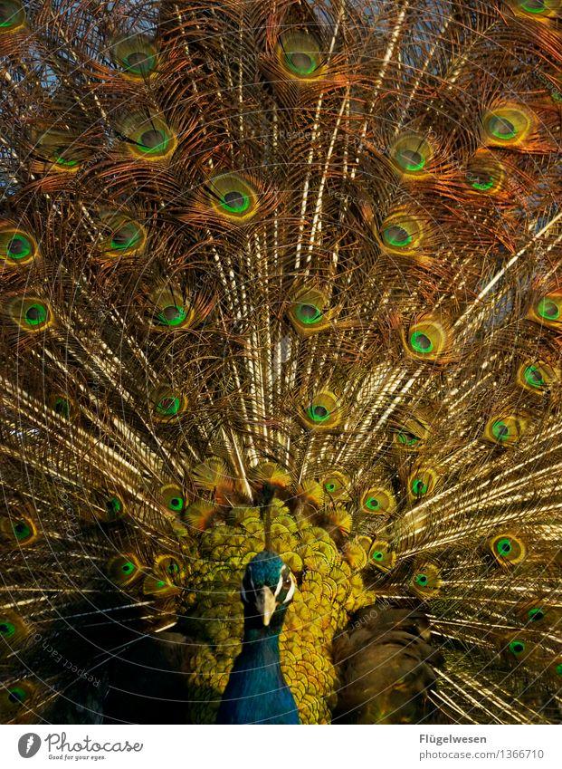 Augenzeuge schön Farbe Tier Farbstoff tierisch Tiergesicht Zoo Farbenspiel Originalität Tierzucht Augenbraue Tierliebe Pfau prächtig