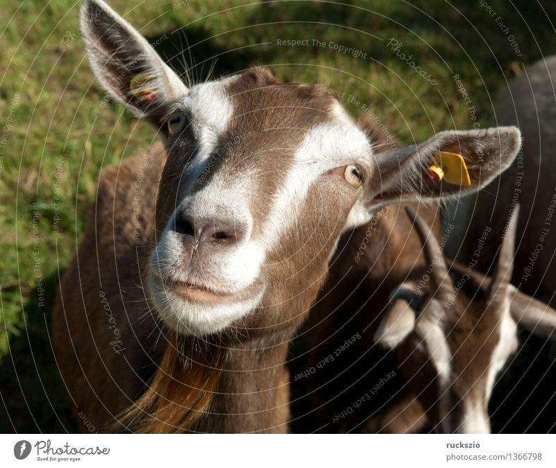 Thueringer, Waldziege, Bedrohte, gefaehrdet, Ziegenrasse, Tier Wiese gefährlich bedrohlich Haustier Säugetier Nutztier Ziegen Thüringen Paarhufer Schweizer Hausziege