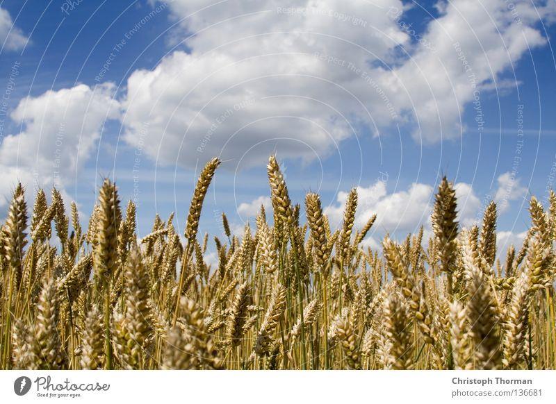 Es geht aufwärts. Himmel Natur blau weiß Sommer Pflanze Wolken Ferne gelb Umwelt Feld gold Lebensmittel groß Wachstum Gold