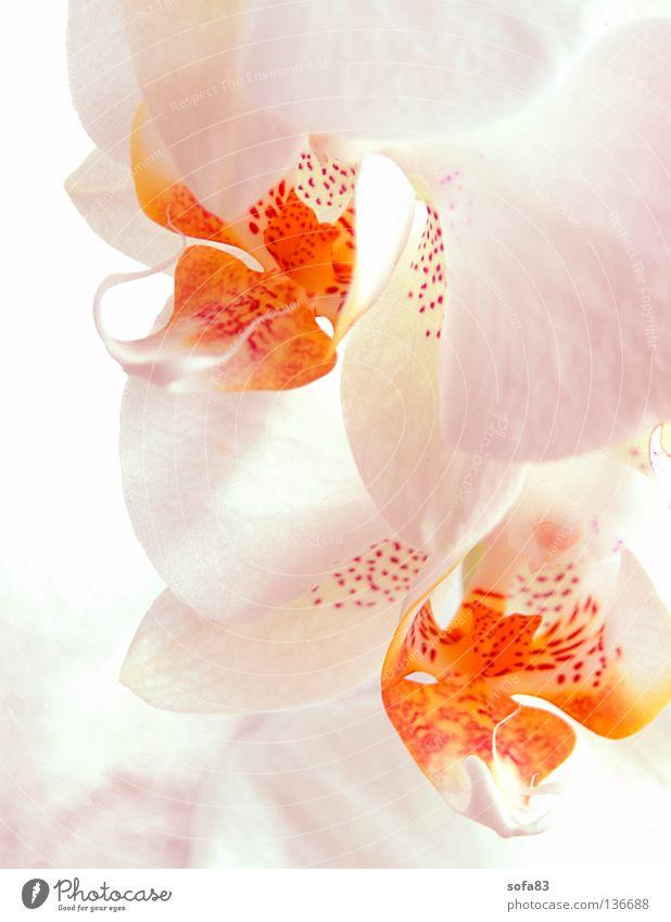 linsentest;-) Orchidee Blume Blüte weiß gelb Blütenblatt getupft High Key unschuldig Sommer Topfpflanze Pflanze 2 Dekoration & Verzierung hell orange Fleck