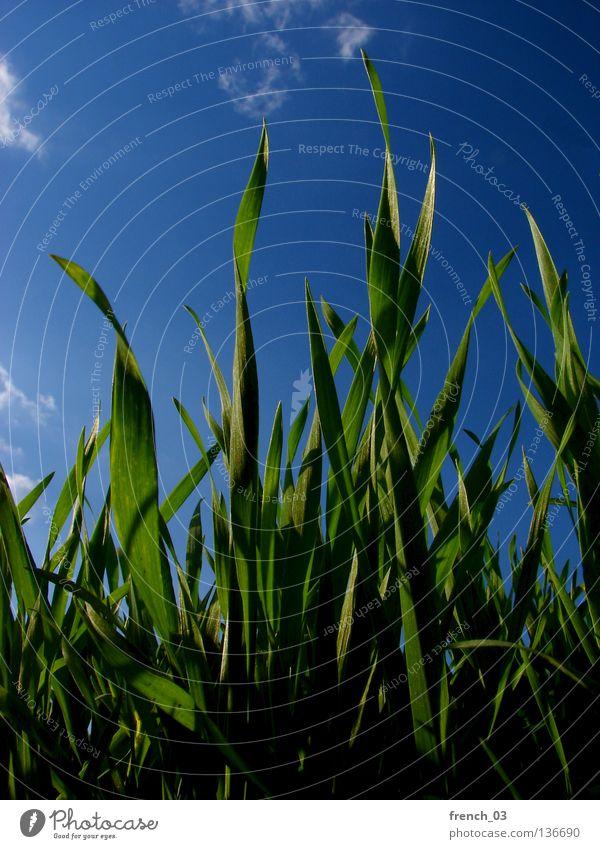 grüner Frühling I Natur Himmel blau Pflanze Sommer ruhig Wolken Ernährung Einsamkeit Tier Ferne Farbe Erholung Wiese Gras
