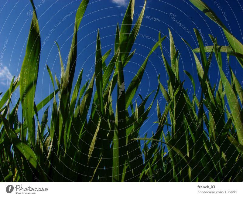 grüner Frühling II Gras Wiese saftig ruhig Erholung Sommer Jahreszeiten Halm Horizont Himmel zyan Wolken Froschperspektive Sachsen-Anhalt Pflanze Tier unten